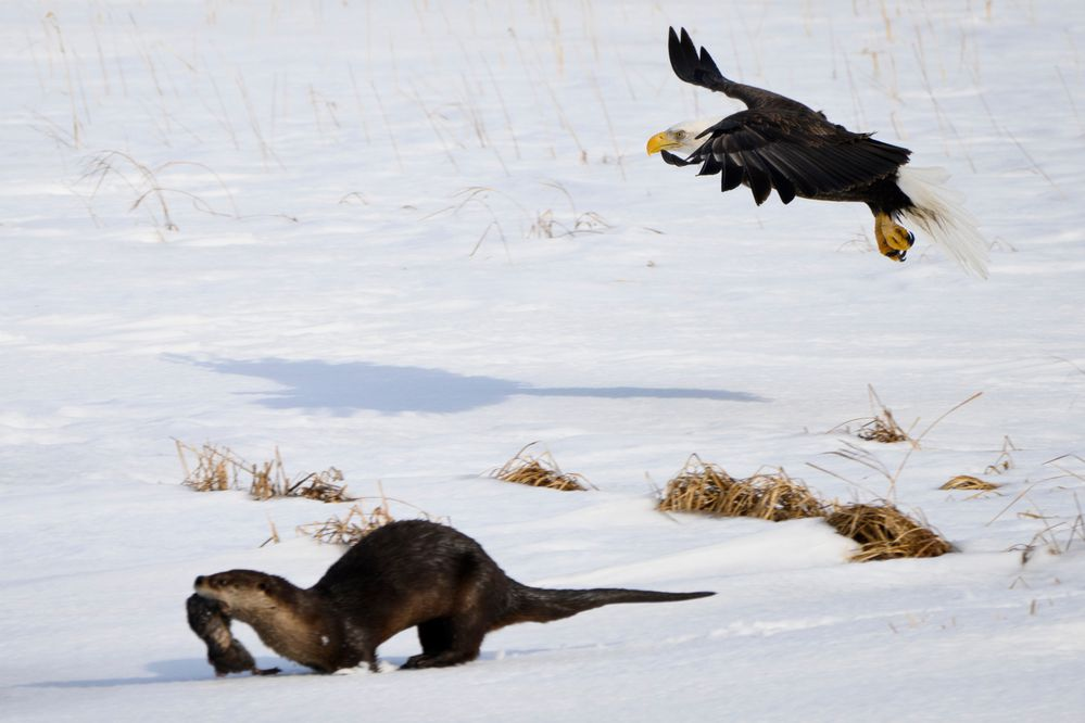 A river otter, carrying a dead muskrat, evades a bald eagle on Patter Marsh on March 30, 2021. (Marc Lester / ADN)