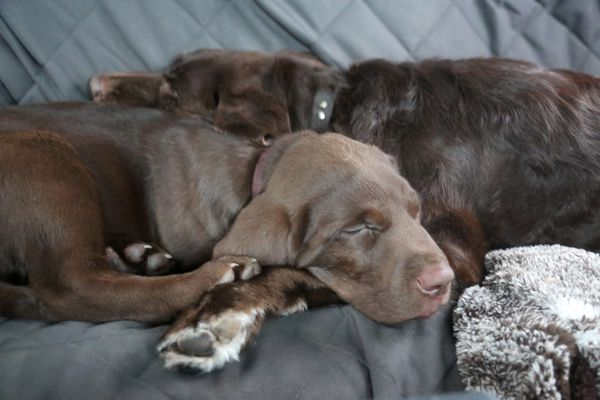 Rigby and Cheyenne - old and new hunting partners tuckered out on the drive home. (Photo by Steve Meyer)