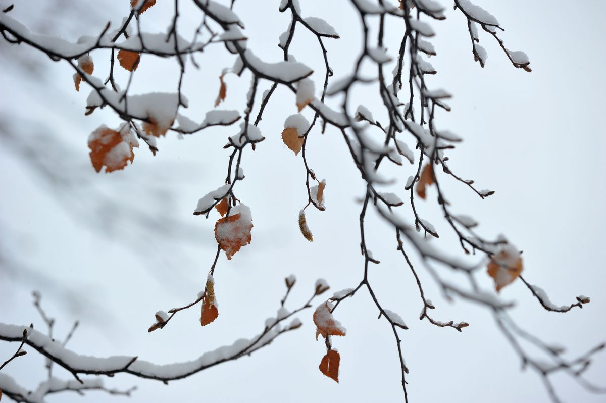 The few remaining birch leaves cling to the tree under a blanket of the first snowfall of the year in West Anchorage, Oct. 21, 2016. (Bob Hallinen / Alaska Dispatch News)