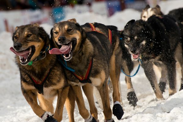 Marc Lester / Alaska Dispatch News Leaders for musher Travis Beals head down 4th Avenue. Dogs and mushers representing 85 teams ran through Anchorage for the ceremonial start of the Iditarod Trail Sled Dog Race 2016 on Saturday, March 5, 2016.
