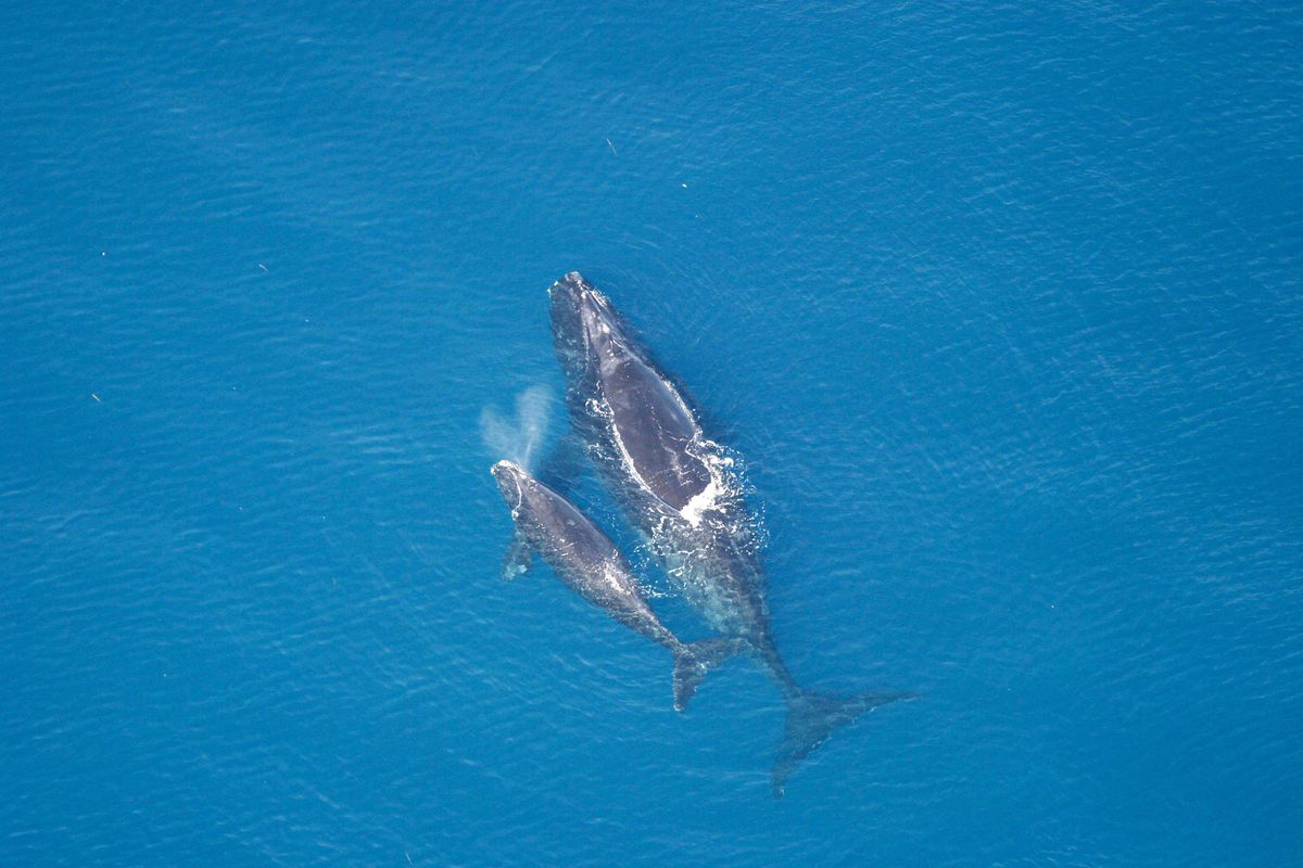 A right whale and calf are seen in 2005. The North Pacific right whales remain critically endangered. (Courtesy NOAA/NMFS)