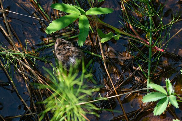 A muskrat forages at Potter Marsh on Wednesday, July 1, 2020 in Anchorage. (Loren Holmes / ADN)
