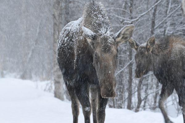 Wind-blown snow falls as a cow moose and a yearling cross the trail while feeding along Campbell Creek in south Anchorage on Wednesday, March 10, 2021. (Bob Hallinen Photo)