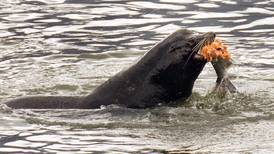 U.S. officials allow killing of sea lions eating at-risk salmon and steelhead in Columbia River watershed