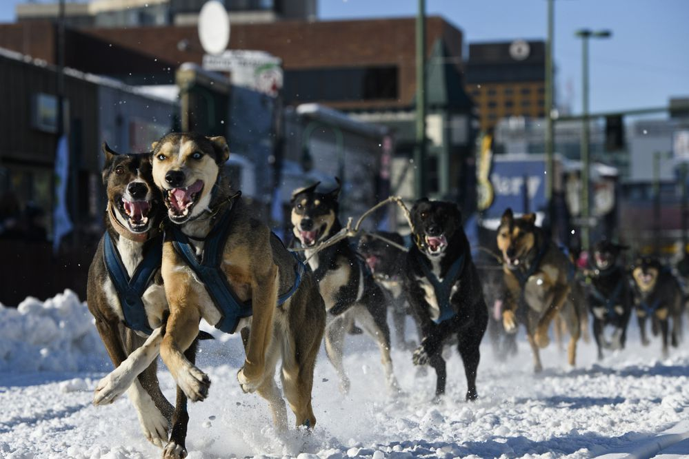 Danny Beck's dogs run down 4th Avenue. Twenty-six mushers began three days of racing in Fur Rendezvous Open World Championship Sled Dog Race in Anchorage on Friday, February 28, 2020. (Marc Lester / ADN)