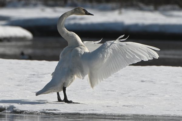 A Trumpeter swan flaps its wings while preening after feeding at Westchester Lagoon on Wednesday, April 8, 2020. (Bill Roth / ADN)