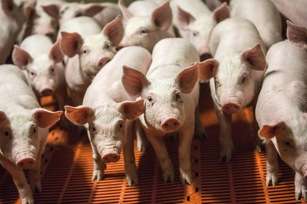 Piglets stand in a pen at a pig farm. MUST CREDIT: Bloomberg photo by Balint Porneczi