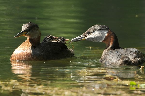 A red-necked grebe feeds a dragonfly to a chick riding on it's mates back as a pair raises their young at Cheney Lake in Anchorage, AK on Thursday June 14, 2018. (Bob Hallinen / ADN)