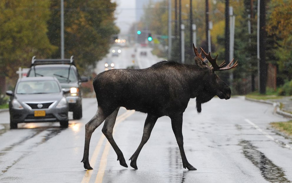 A bull moose crosses West Northern Lights near Earthquake Park during the rainstorm on Sept. 29, 2019. (Bill Roth / ADN archive)