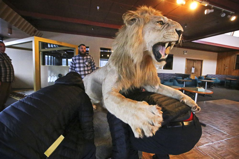 Hugh Wade, right, and Ryan Schwalbe, left, help Dennis and Kyle Keeling move a taxidermy lion from the frame of its display case at the Best Western Golden Lion Hotel in Anchorage on Friday, Jan. 15, 2021. (Emily Mesner / ADN)