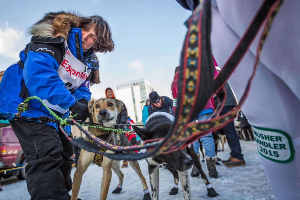 Musher Cindy Gallea harnesses her dogs before the ceremonial start of the 2015 Iditarod Trail Sled Dog Race in Anchorage. (Loren Holmes / ADN archive)