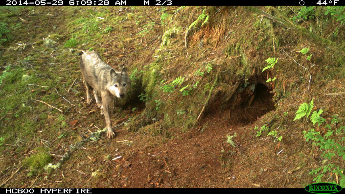A wolf is seen on Prince of Wales Island in Southeast Alaska. (Photo courtesy U.S. Forest Service)