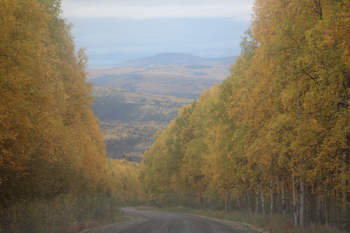 Birch and aspen trees on Ester Dome near Fairbanks on Sept. 11 (Dermot Cole/Alaska Dispatch News)