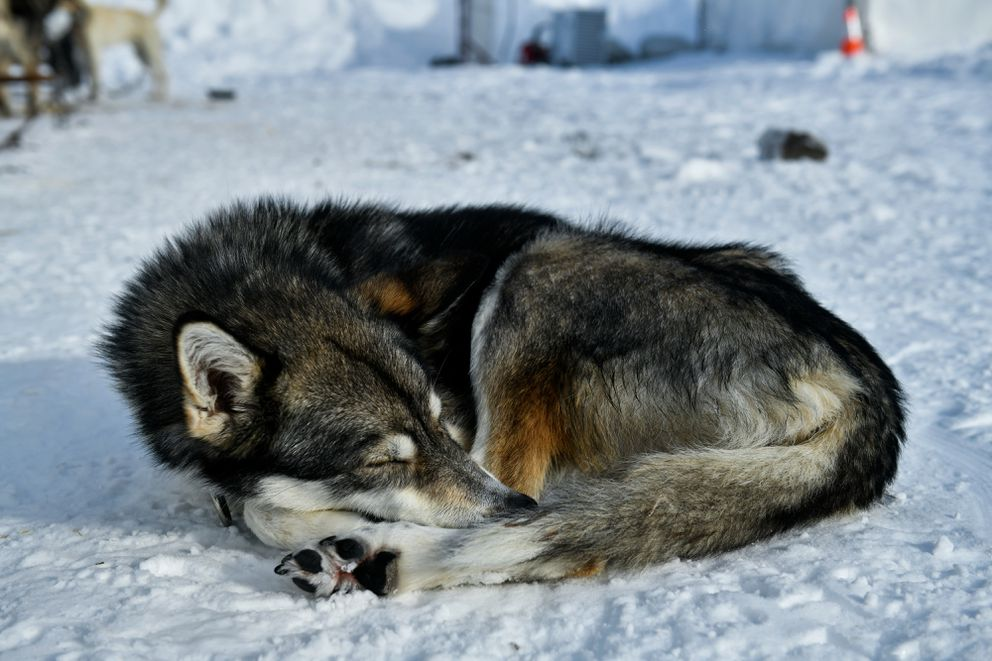 Sable, a lead dog with Cody Strathe's team, sleeps in the sunshine Tuesday at the Iditarod finish line. (Marc Lester / ADN)