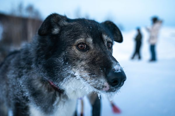A dog in Richie Diehl's team has a frosty face after arriving in Ruby on Friday morning, March 13, 2020 Iditarod Trail Sled Dog Race. (Loren Holmes / ADN)
