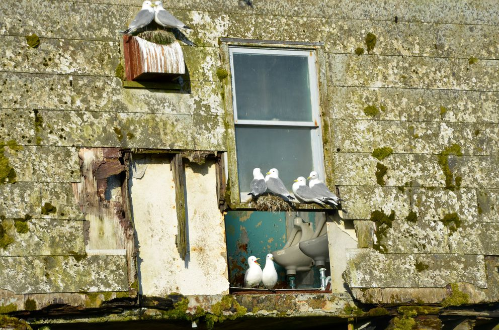 Kittiwakes outside and inside abandoned barracks, Middleton Island, May 2015 (Rick Sinnott)