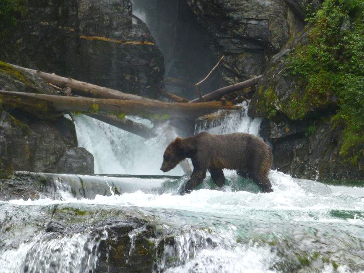 A brown bear walks through a waterfall in the Admiralty Island National Monument. (U.S. Forest Service)