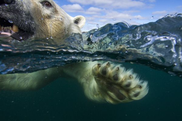 An underwater view of a polar bear's paws and claws swimming in Hudson Bay. (Paul Souders / WorldFoto) ONE TIME USE