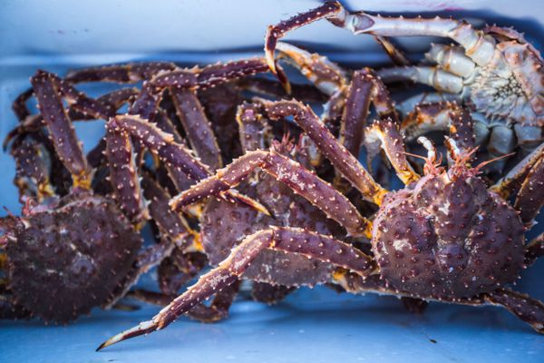 Red king crab fill Nome resident Pat Hahn's cooler on the Bering Sea ice on Wednesday, March 18, 2015. Hahn has a subsistence king crab permit that lets him harvest crab just a few miles from his home in town. (Loren Holmes / Alaska Dispatch News)