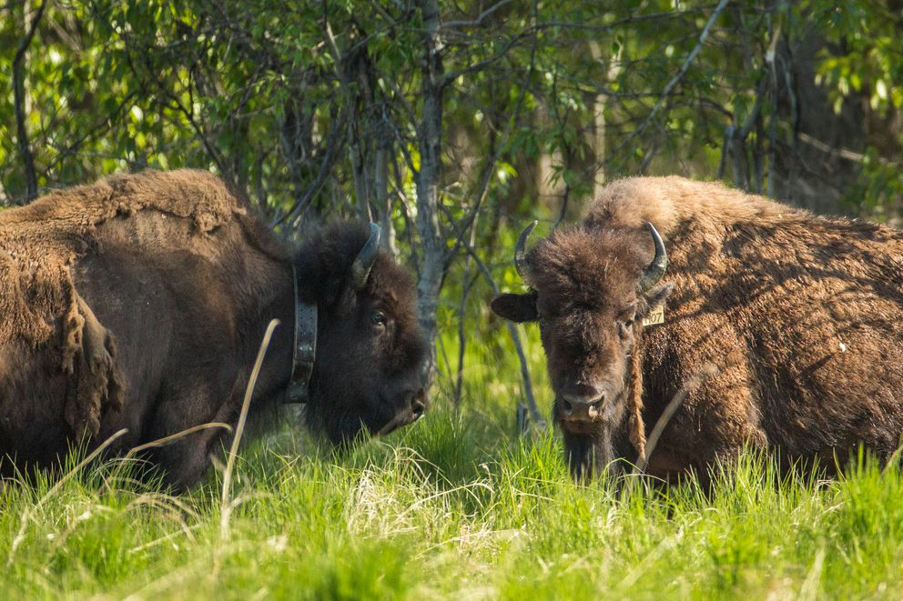Wood bison on the edge of a sedge meadow in the Innoko River area on May 27, 2016. (Loren Holmes / Alaska Dispatch News)
