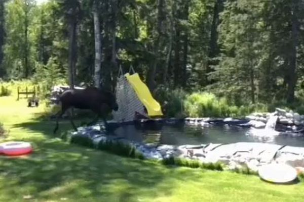 Screenshot of a moose walking into a pond during a birthday party on June 2, 2018. (Carol Hushower)