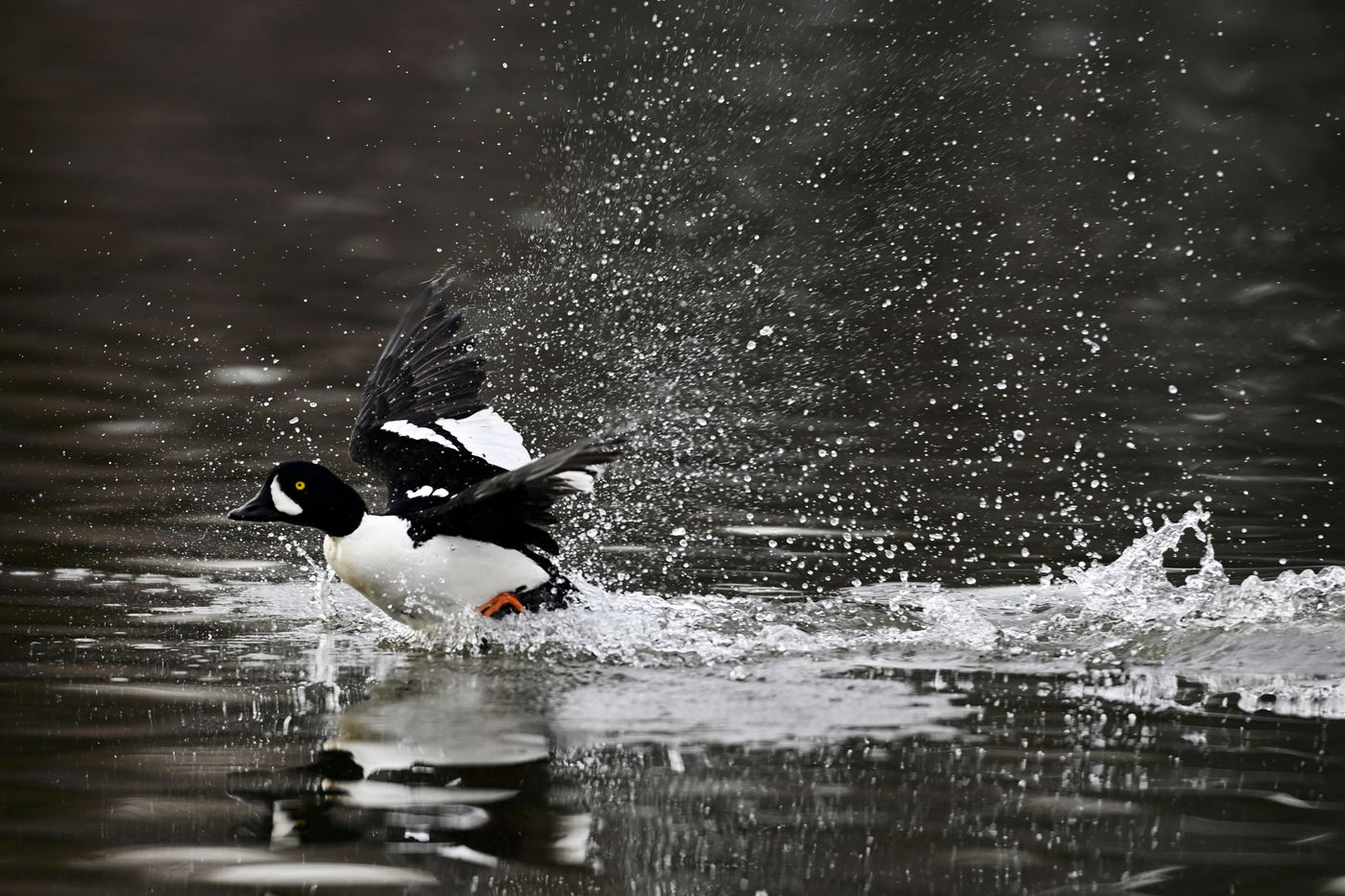 A Barrow's goldeneye splashes at Westchester Lagoon on April 18, 2021. (Marc Lester / ADN)