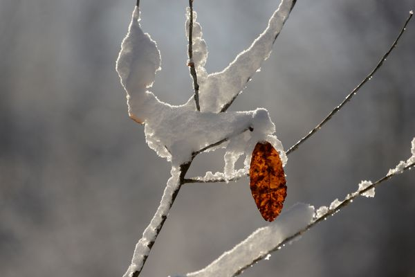 A lone leaf clings to a tree as the first snowfall of the year covers the branches near Peters Creek on Saturday, October 22, 2016. (Bob Hallinen / Alaska Dispatch News)