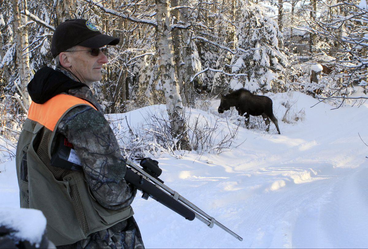 In this Feb. 23, 2018, file photo, Dave Battle of the Alaska Department of Fish and Game waits for a moose in Anchorage to move off after he fired a dart into its side that collects a skin sample. Using reports called in by citizens, biologists drive to neighborhoods and collect DNA samples with the dart projectors that look like hunting rifles. (AP Photo/Dan Joling, File)