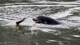 Hundreds of sea lions to be killed in Columbia River watershed in effort to save endangered salmon and steelhead