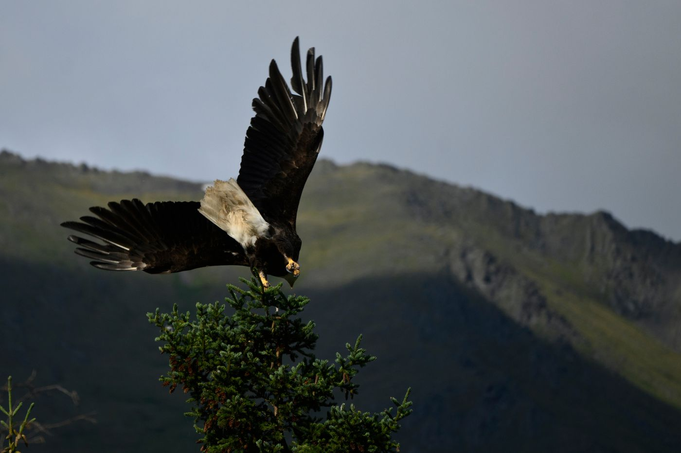 A bald eagle takes flight from a Cooper Landing treetop. (Marc Lester / ADN)