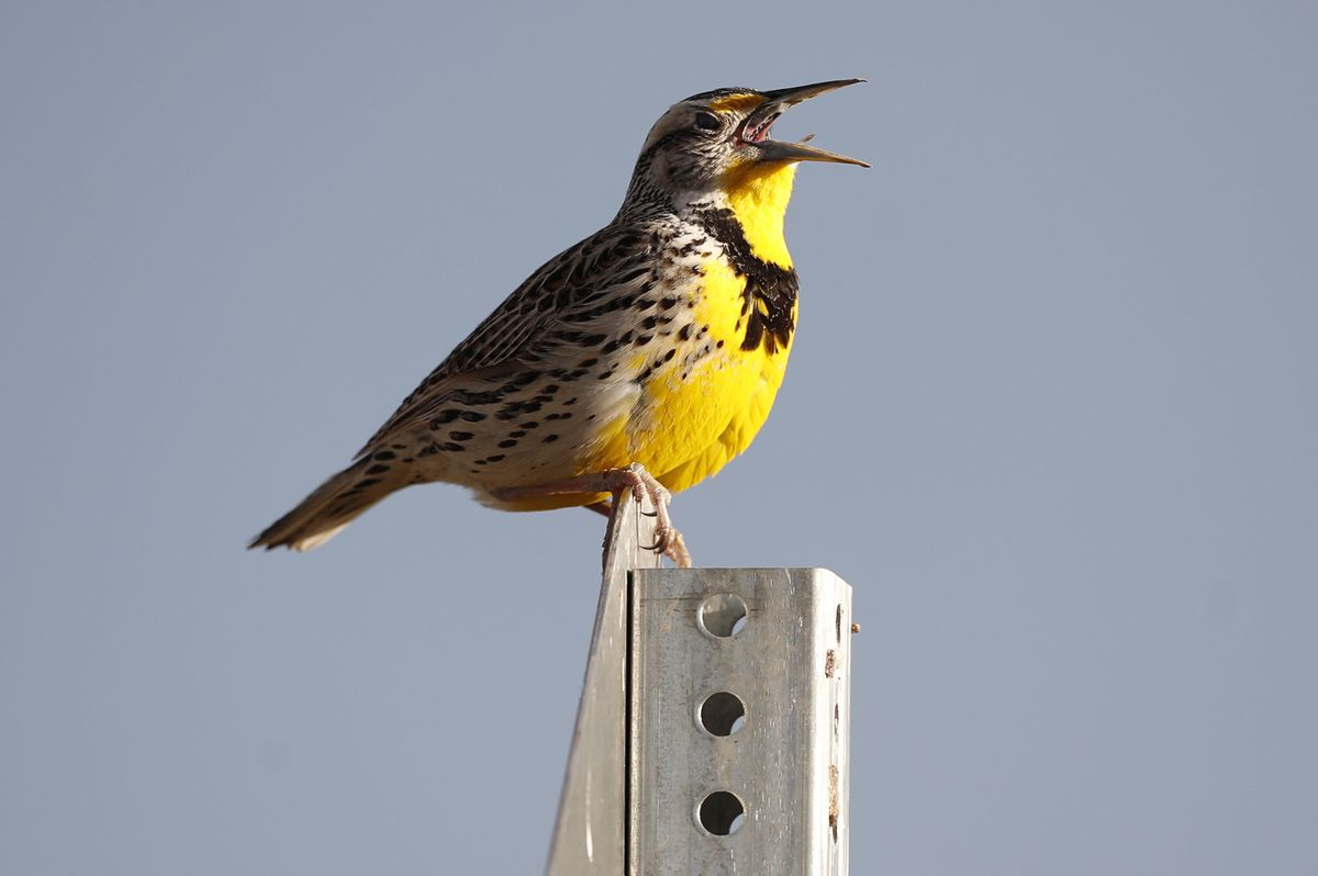 This April 14, 2019 file photo shows a western meadowlark in the Rocky Mountain Arsenal National Wildlife Refuge in Commerce City, Colo. (AP Photo/David Zalubowski, File)