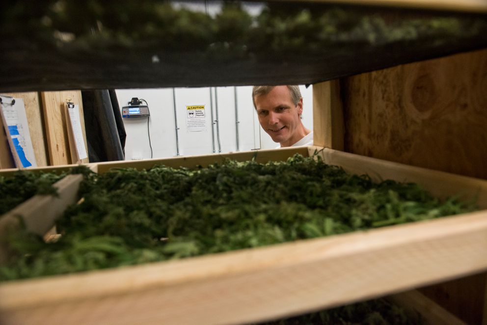 Leif Abel, co-owner of Greatland Ganja, shows marijuana drying on racks on Sept. 21, 2016. (Marc Lester / Alaska Dispatch News)
