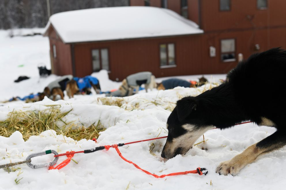 Skye is a 3-year-old dog on Pete Kaiser's team. Photographed in Takotna during the Iditarod Trail Sled Dog Race on March 6, 2019. (Marc Lester / ADN)