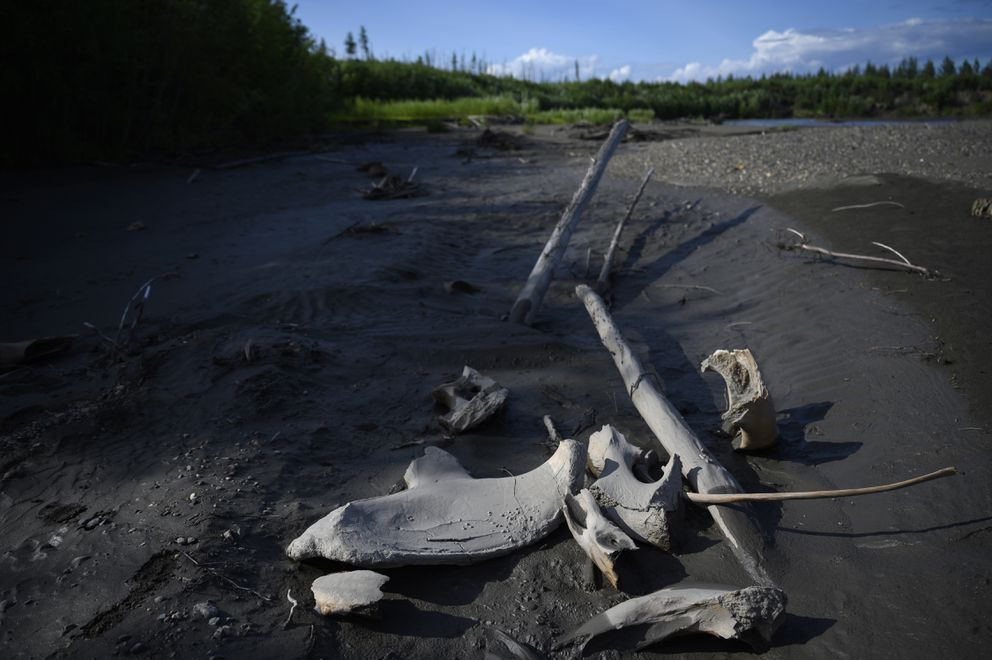 Mammoth bones that could be tens of thousands of years old are strewn near the Kolyma River. They probably were discarded by poachers in favor of valuable tusks. (Washington Post photo by Michael Robinson Chavez)