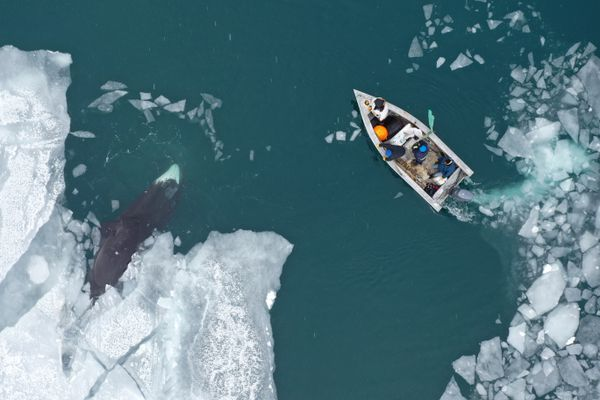 Anagi Crew hunts a 30-foot male bowhead whale on the Bering Sea in an aluminum boat, though typically spring whalers use umiaqs, the small sealskin boats that are prized for their light weight, stealthy movement and respect for tradition. (Photo by Yves Brower) ONE TIME USE