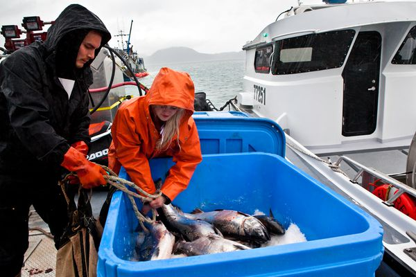 Crew members, Jamie Hamilton (left), and Christina Twogood, ice down Copper River king salmon after a commercial fishing boat delivered them to the tender-vessel Enchantress at Point Whitshed, just south of Cordova. The Copper River Seafoods tender was about to bring the fish to Cordova to catch a plane on the night of May 18, 2017 for delivery to Seattle restaurants. (Bob Martinson)