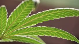Five myths about marijuana