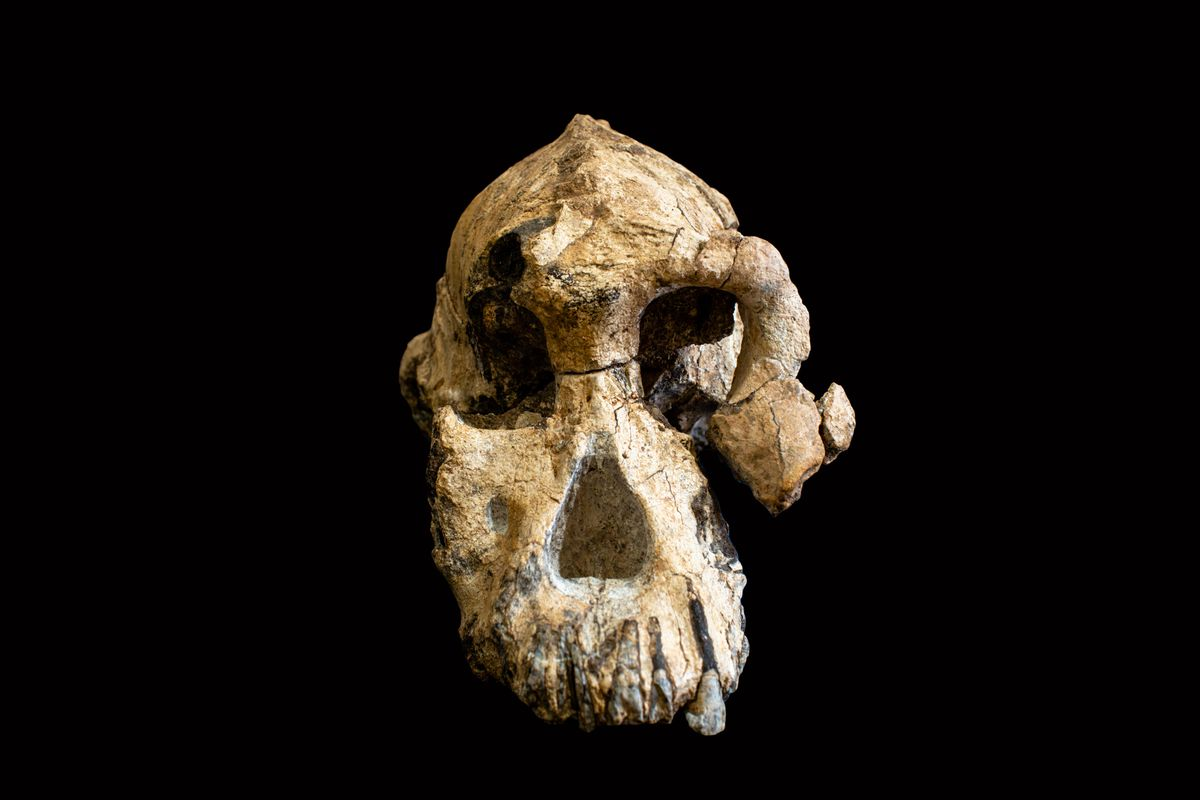 The Australopithecus anamensis cranium fossil. (Dale Omori/Cleveland Museum of Natural History)