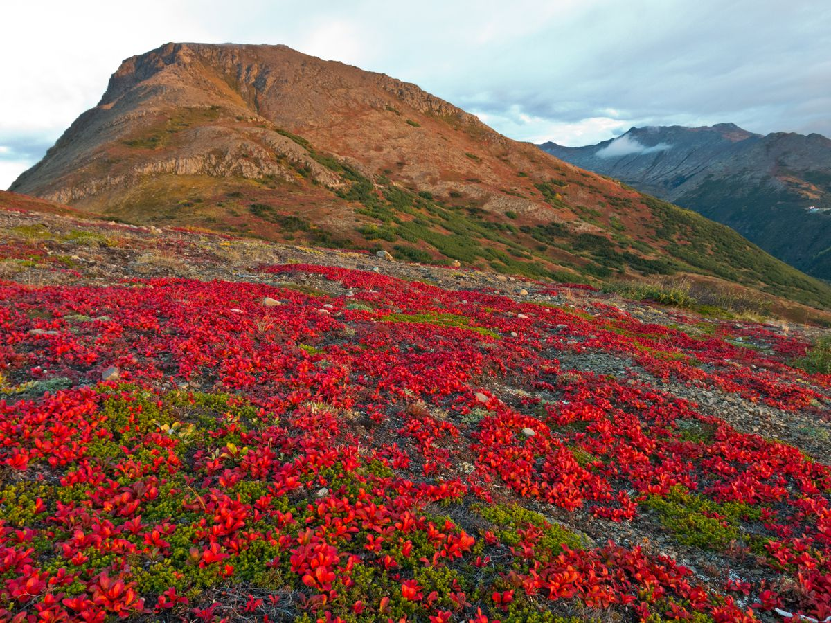 The tundra is bright with fall color on the slopes below Flattop Mountain in Chugach State Park. (Marc Lester / ADN archive)