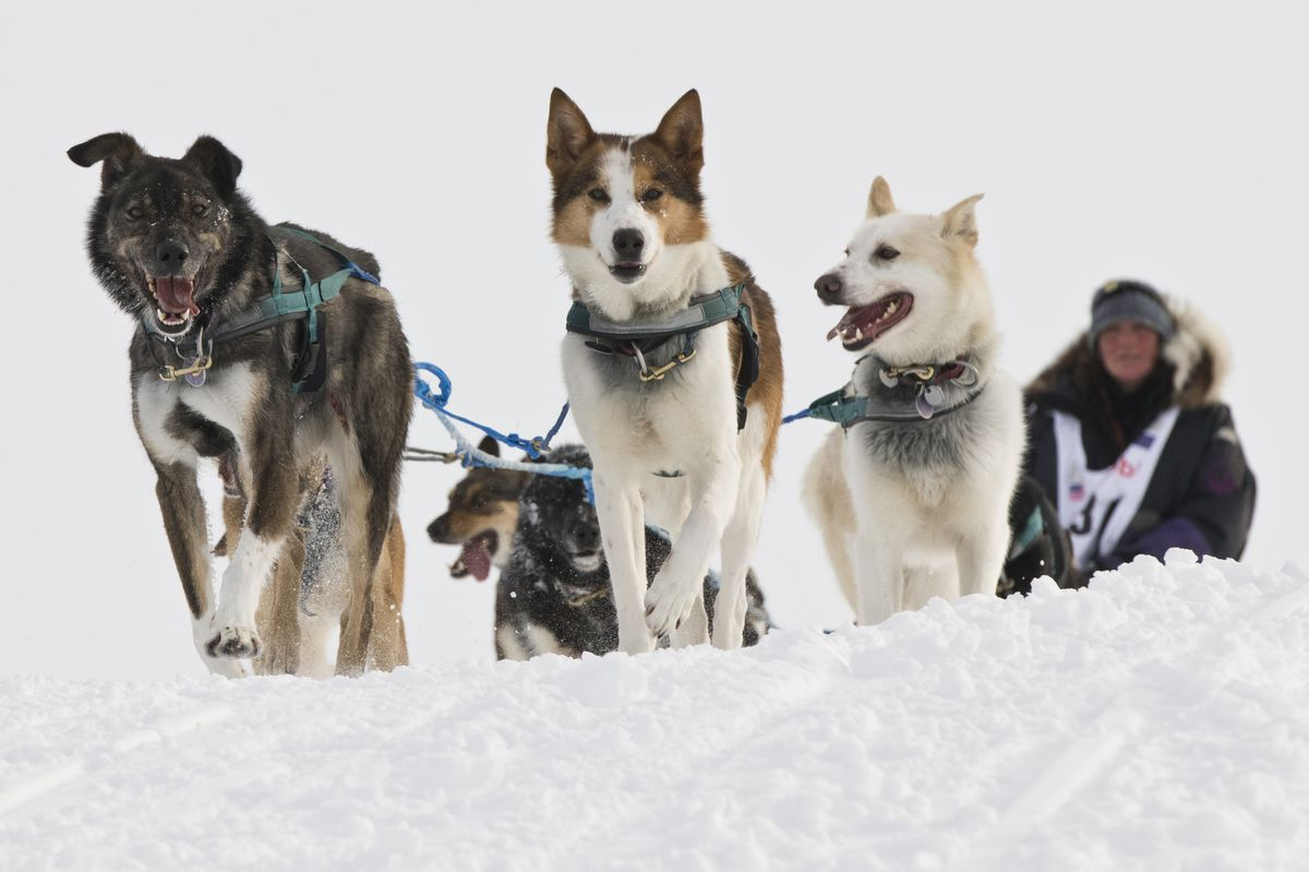 Michelle Phillips and her team approach Nome on their way to a 13th-place finish in this year's Iditarod. (Marc Lester / ADN)