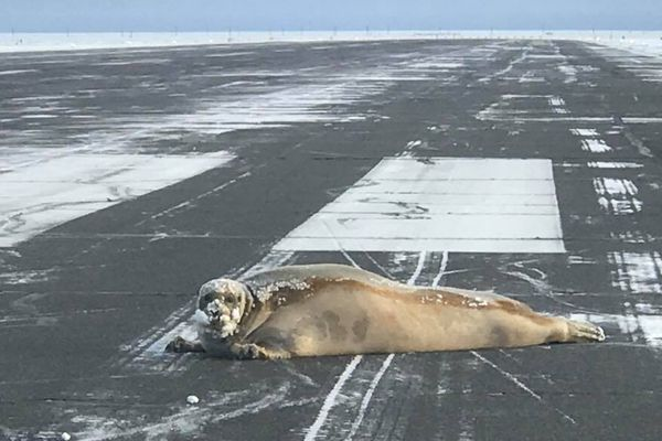A seal hauled out and was found resting on the Utqiagvik (Barrow) airport runway Monday, Oct. 23, 2017. (Scott Babcock / ADOT&PF)