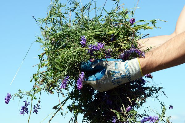 Bird vetch was among several invasive plants being pulled by youth participants in the Southcentral Foundation RAISE program as a community service project on Tuesday, June 21, 2016, between Pt. Woronzof and Earthquake Park in west Anchorage. RAISE (Responsible Adolescent In Successful Employment) teaches workplace expectations while introducing youth ages 14-19 to health-related careers, all in the context of Alaska Native cultural values. The weed pullers are participating in a RAISE group emphasizing community development. (Erik Hill / Alaska Dispatch News)