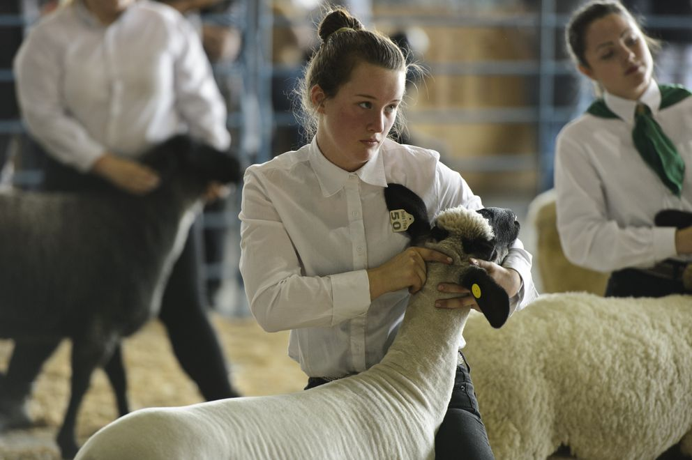 Atti Jo Tormey steadies her sheep for judging. (Marc Lester / ADN)