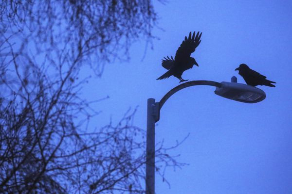Ravens fight with each other while sitting on a street light on C Street in downtown Anchorage on Wednesday, Jan. 6, 2021. (Emily Mesner / ADN)