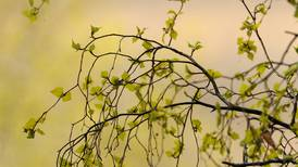 Sniffly spring: Anchorage is in the middle of its notorious tree pollen season