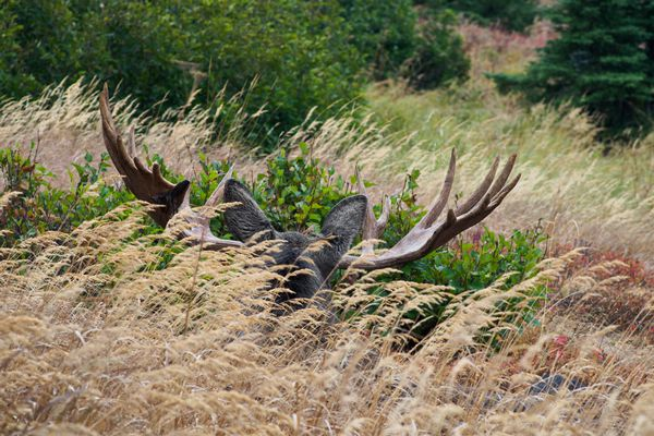 The antlers of a resting moose are visible above the tall grasses in Rabbit Creek valley in Chugach State Park on September 8, 2019. (Marc Lester / ADN)