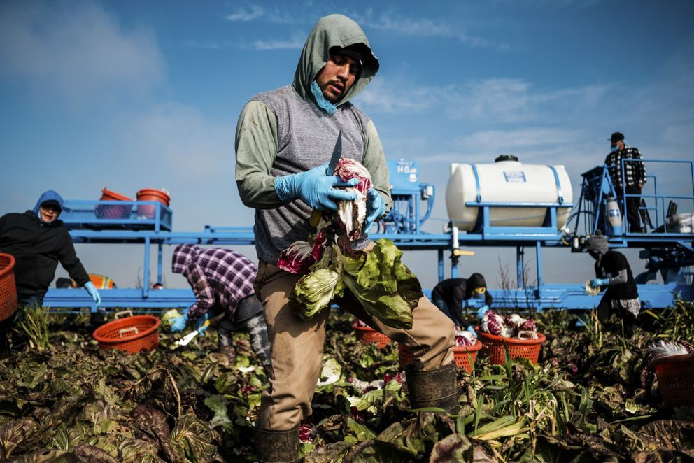 A worker harvests Jeff Marchini's radicchio crop to a conveyer belt in Merced, Calif., Jan. 27, 2017. President Donald Trump's executive orders upending immigration laws are alarming farmers in the Republican stronghold of Central Valley, who are wondering what they could mean for their workers, most of whom are unauthorized, and the businesses that depend on them. (Max Whittaker/The New York Times)