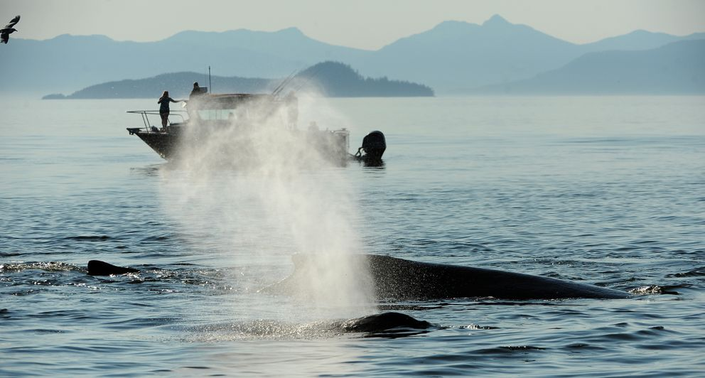 As people watch from a boat one of a group of humpback whales expels a breath as the group was bubble feeding in Frederick Sound off of Kupreanof Island north of Petersburg, AK on Saturday, July 21, 2018. (Bob Hallinen / ADN)
