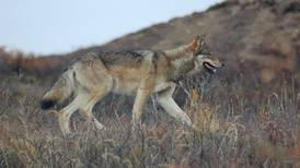 Denali buffer is about protecting wolves we can see, song we can hear