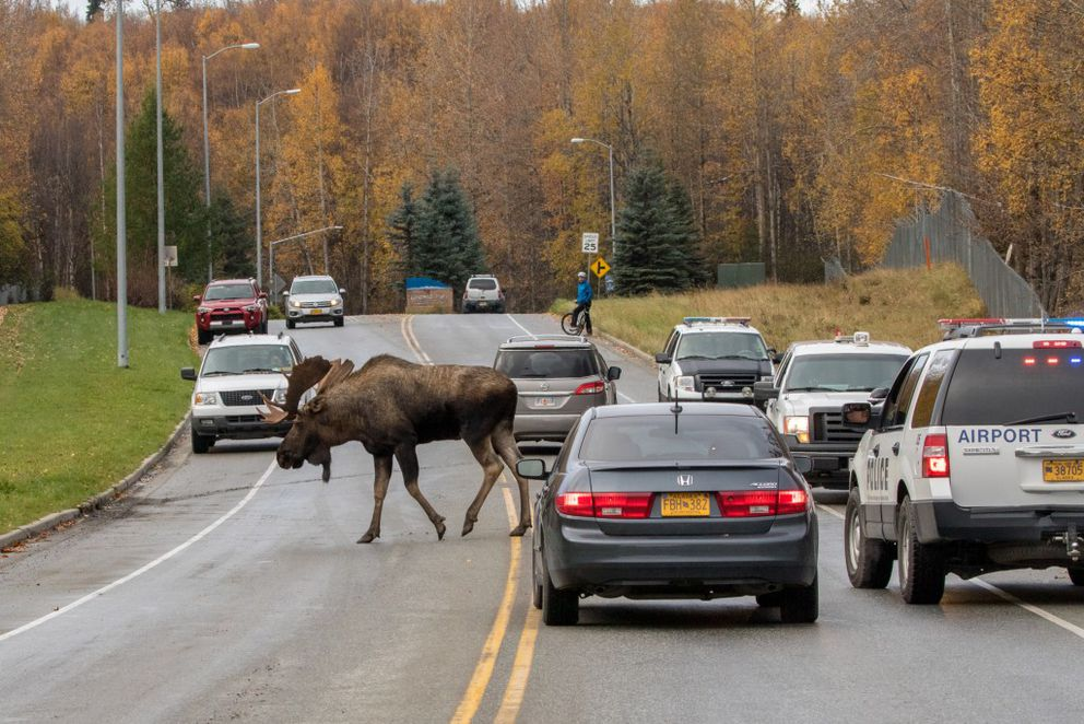 A bull moose walks away from the scene after fighting with another bull on Sunday.  (Photo by Doug Lindstrand)